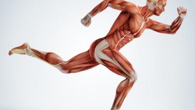 Energieversorgung des Muskels