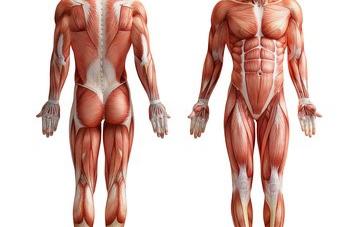 Muskelwachstum im Bodybuilding