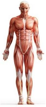 Muskelskizze Bauchmuskeln
